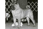 CH Twilight`s Devil In Disguise Red AKC Champion