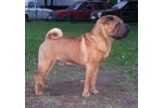 shar pei garic in junior age