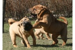 this shar pei plays plays and plays every day