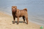 many judges likes this shar pei