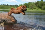 Picture jumping from rock Nirvana graced the cover of the USA American Shar Pei Rescue  annual calendar